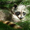 We spotted a young racoon dozing in the shade.