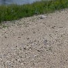 Piping Plovers were nesting at Arrowwood National Wildlife Refuge; the refuge manager took us to see them.