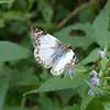 Laviana White-Skipper butterfly (Heliopetes Laviana)