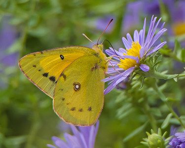 Sulphur Butterfly on an Aster