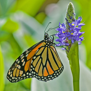 Monarch Butterfly on Pickerel Rush Flower