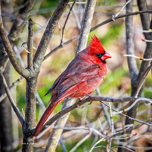 Mr. Redbird