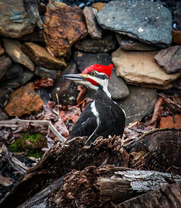Pileated Pete