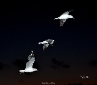 broome seagulls bhp