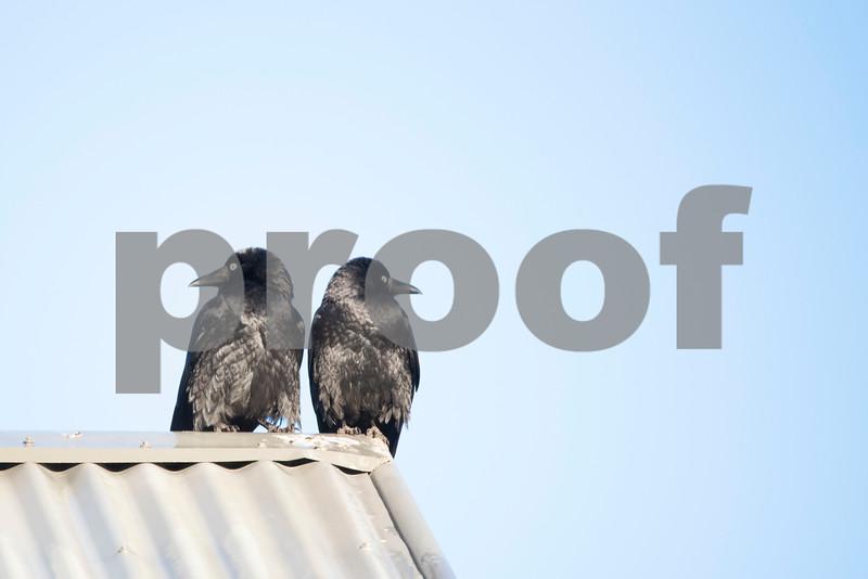 crows on roof 2.jpg
