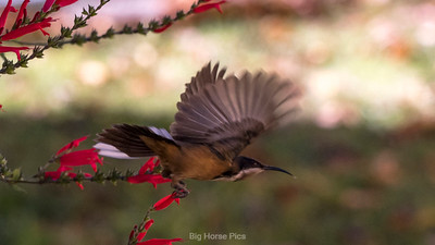 flying sap eater