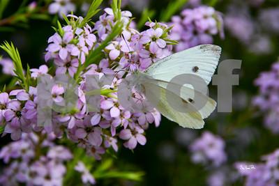 butterfly bhp