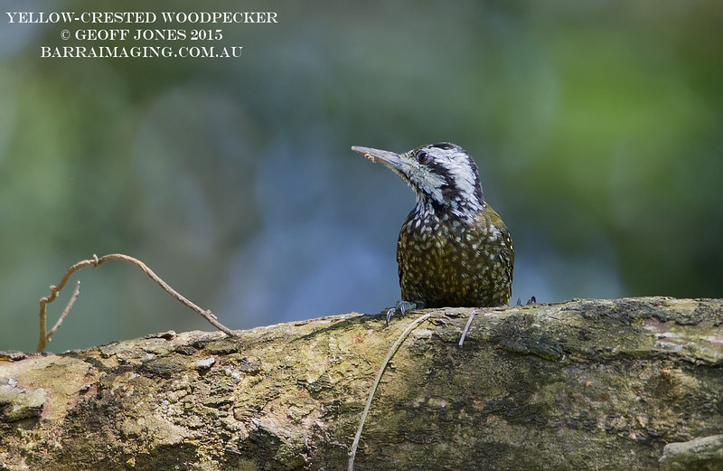 Yellow-crested Woodpecker male