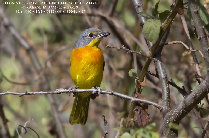 Orange-breasted Bushshrike Imm female