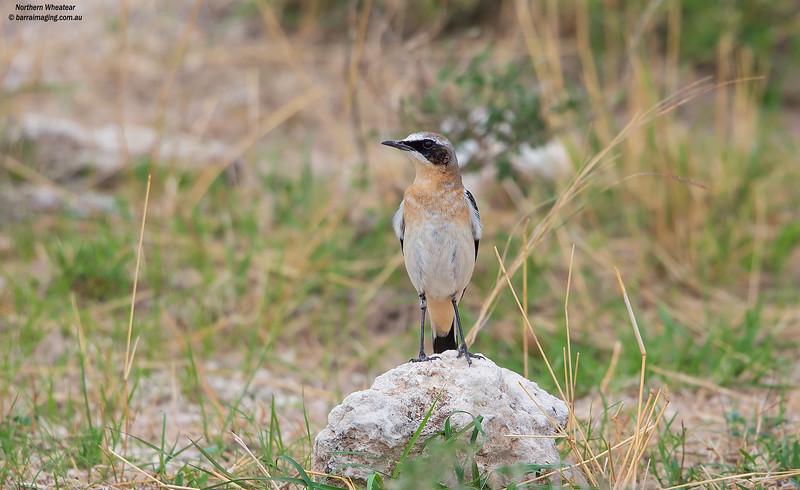 Northern Wheatear breeding male