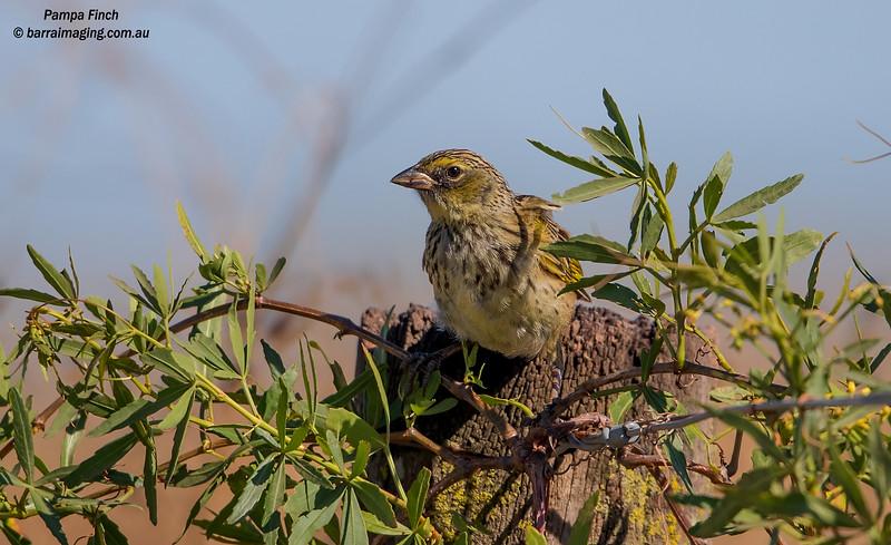 Pampa Finch