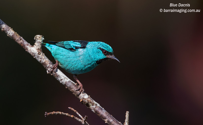 Blue Dacnis male