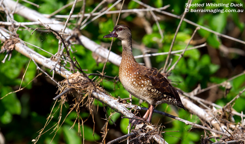 Spotted Whistling-Duck