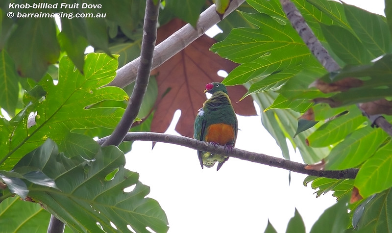 Knob-billled Fruit Dove