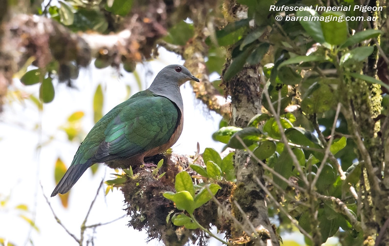 Rufescent Imperial Pigeon