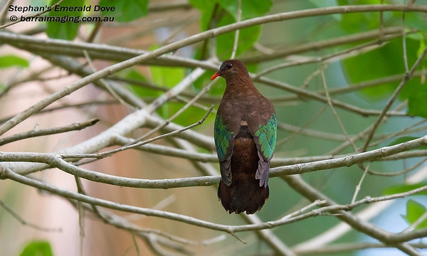 Stephan's Emerald Dove female