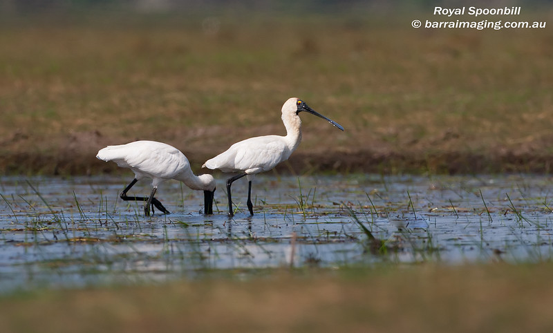 Royal Spoonbill adult