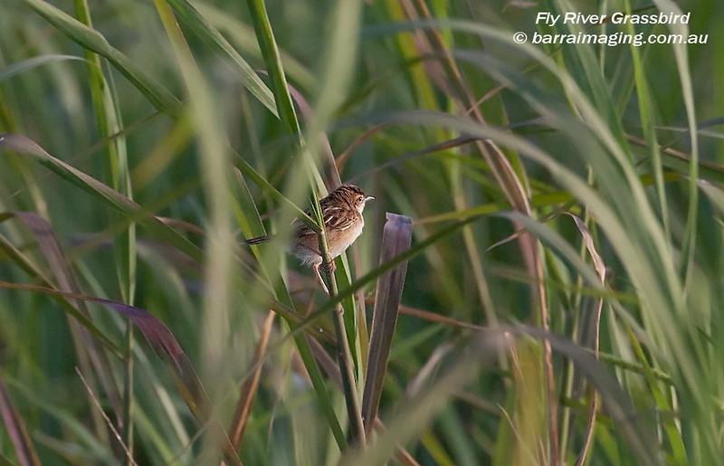 Fly River Grassbird