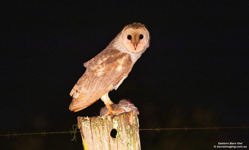 Eastern Barn Owl