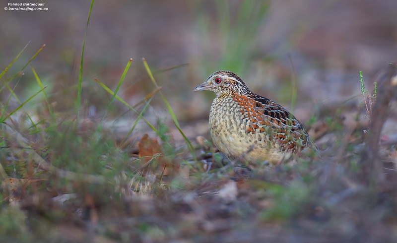 Painted Buttonquail male