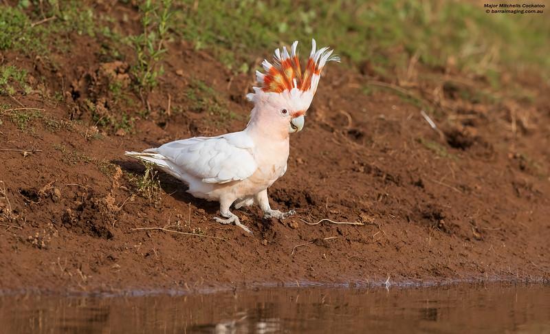 Major Mitchell's Cockatoo female