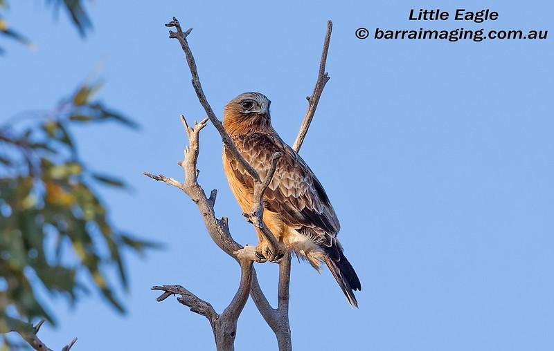 Little Eagle dark morph