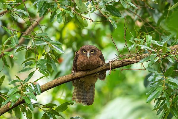 Rufous Owl