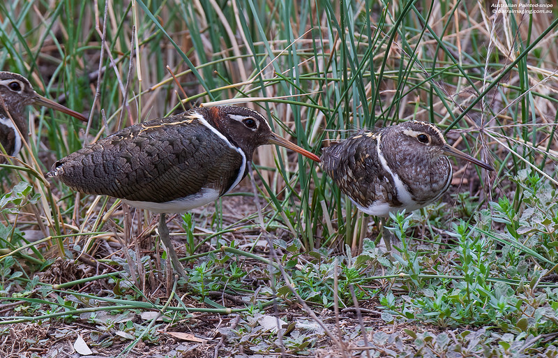 Australian Painted-snipe female and Immature male