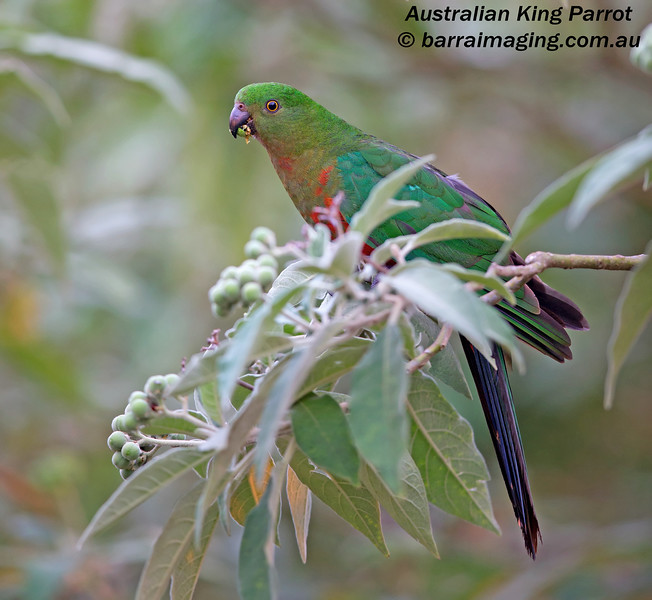 Australian King Parrot immature male