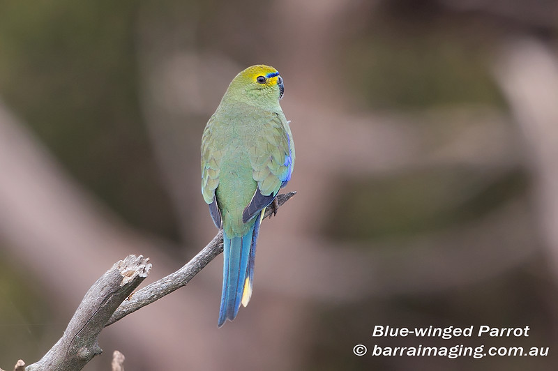 Blue-winged Parrot