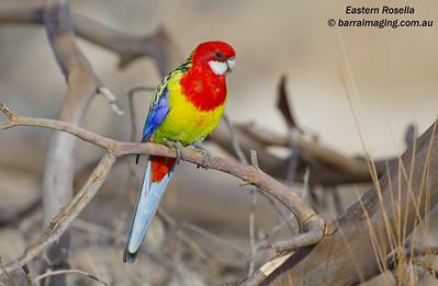 Eastern Rosella male