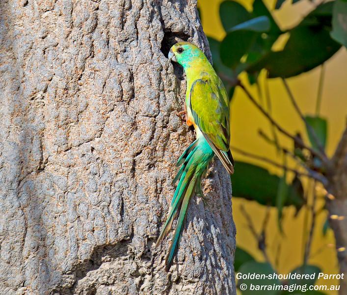 Golden-shouldered Parrot immature male