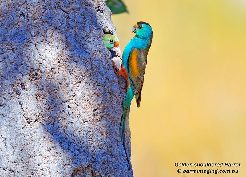 Golden-shouldered Parrot male & juvenile