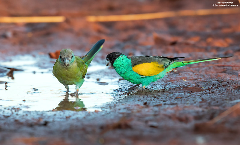 Hooded Parrot female & male
