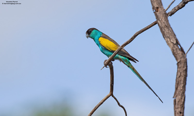 Hooded Parrot male