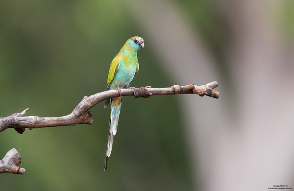 Hooded Parrot female