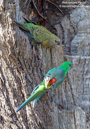 Red-rumped Parrot female & male