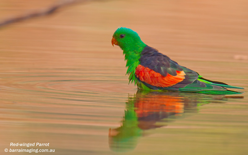 Red-winged Parrot male