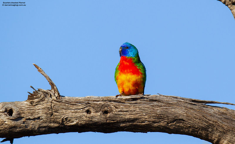 Scarlet-chested Parrot male