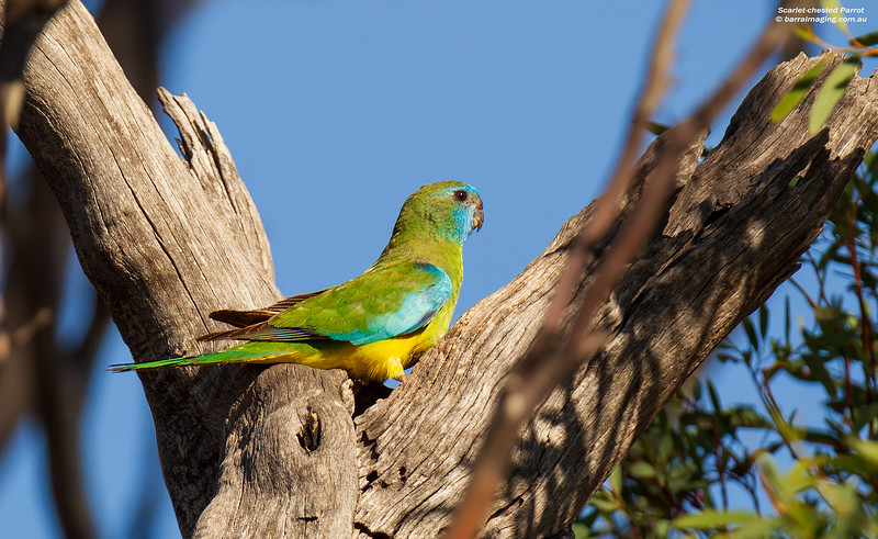 Scarlet-chested Parrot female