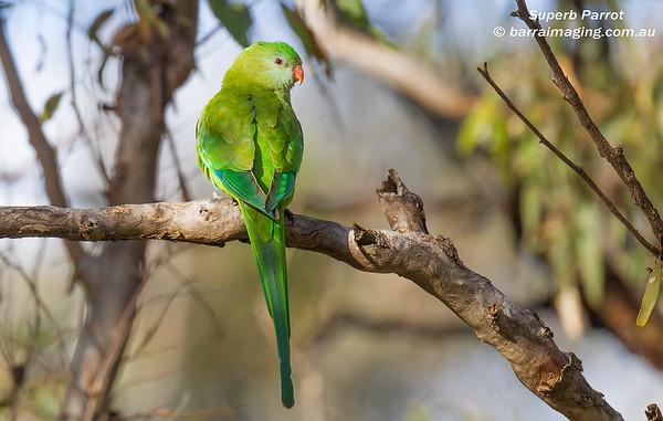 Superb Parrot female