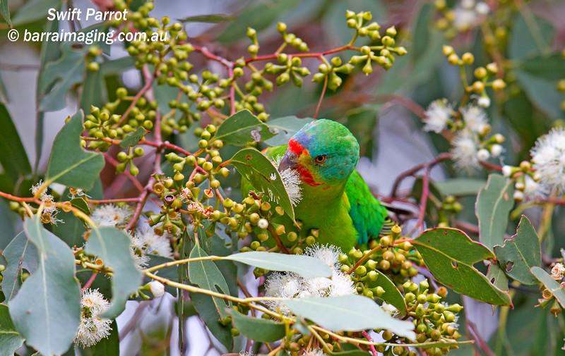 Swift Parrot