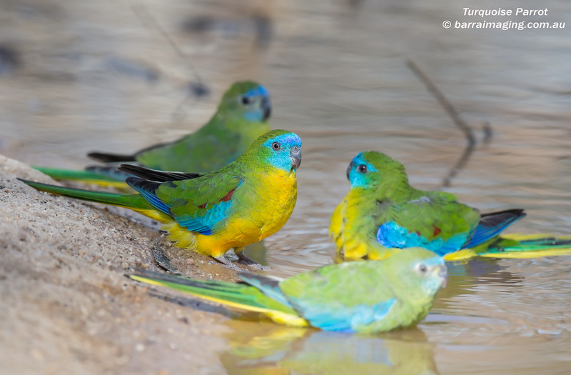 Turquoise Parrot male