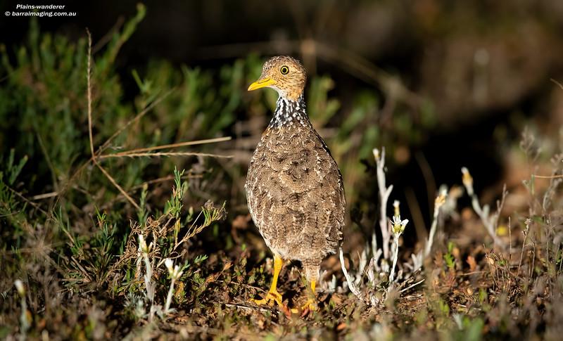 Plains-wanderer female