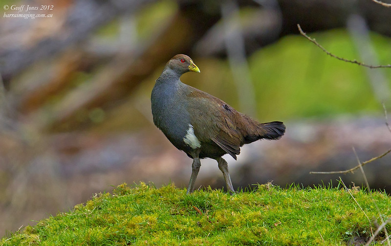 Tasmanian Native-hen