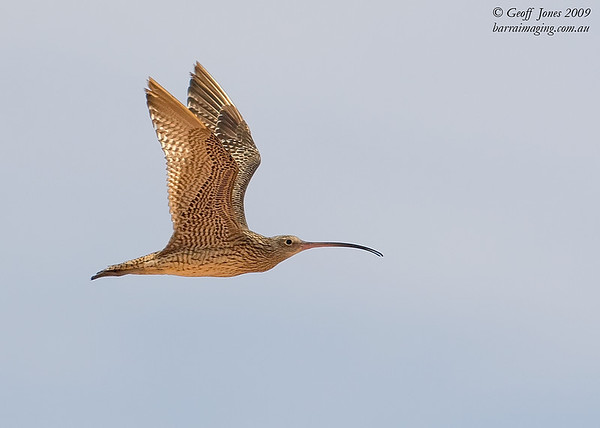 Far Eastern Curlew