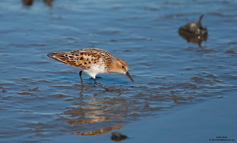 Little Stint breeding plumage