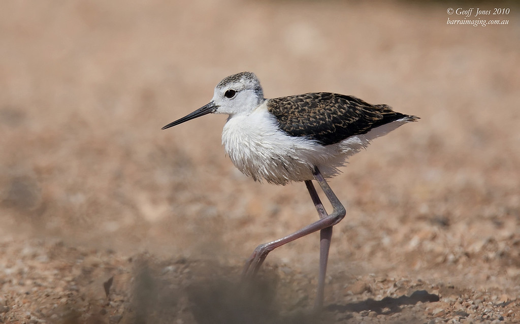 White-headed Stilt immature