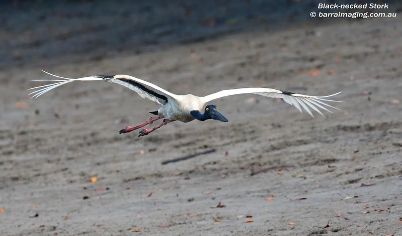Black-necked Stork female