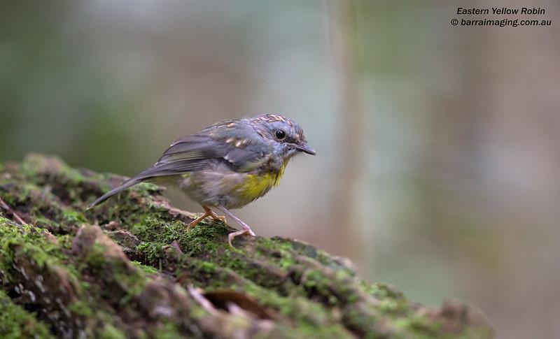 Eastern Yellow Robin immature